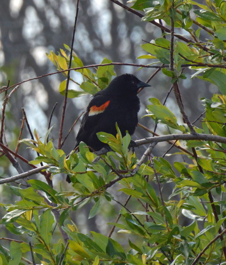 An image of a male red-winged blackbird