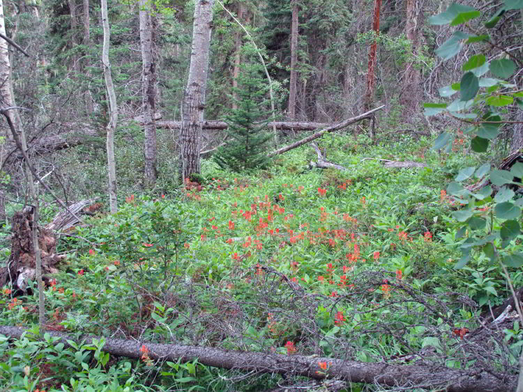 An image of wildflowers on the Allstones Lake Trail in Bighorn Backcountry in Alberta, Canada.