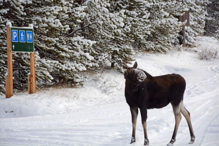 An image of a moose near Maligne Lake in Jasper National Park in Alberta, Canada.