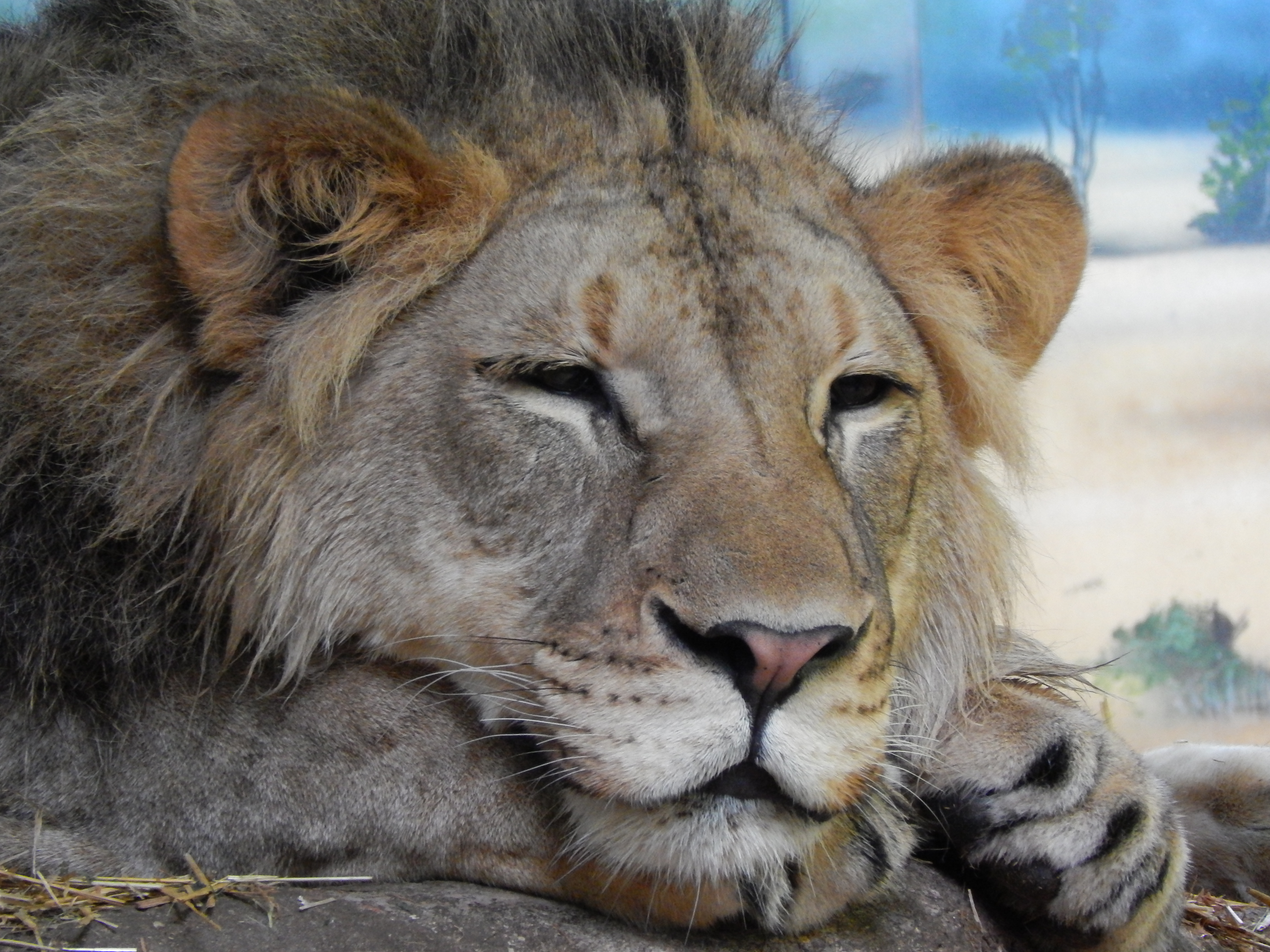 Zoo Euthanizes 25 Year Old Lion Believed To Be Oldest In Us