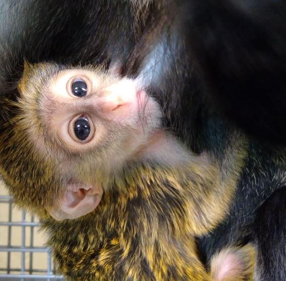 fort wayne children's zoo de brazza's monkey_262968