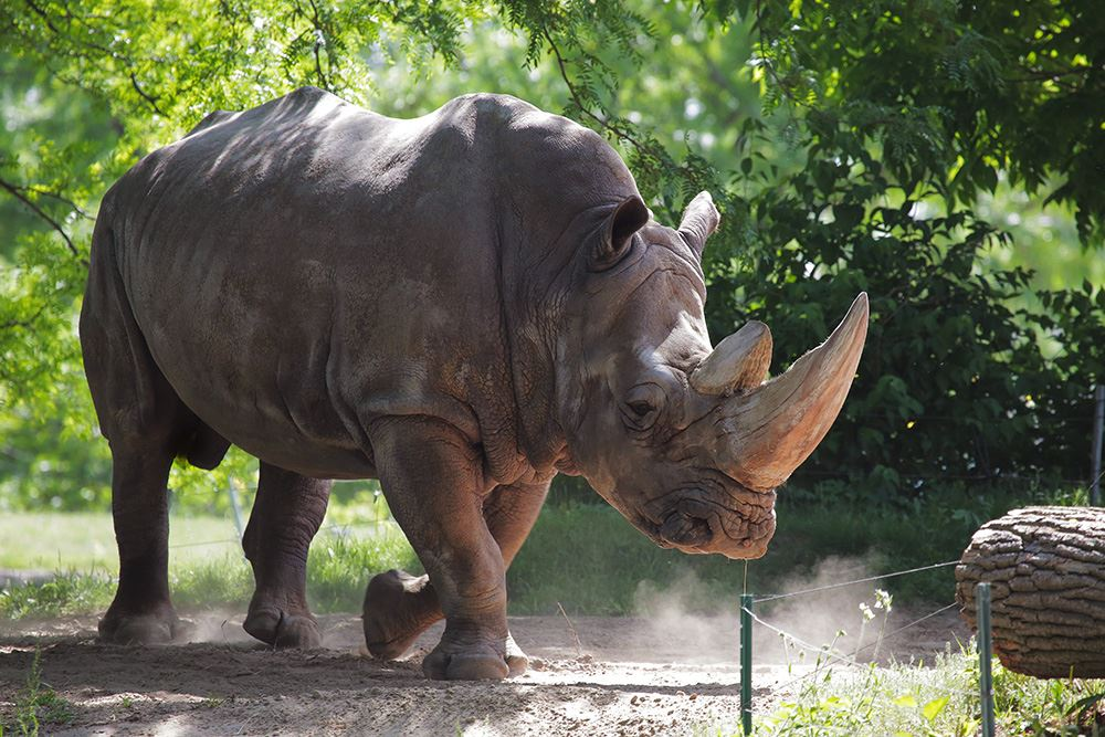 Sam - Toledo Zoo rhino Facebook_292105