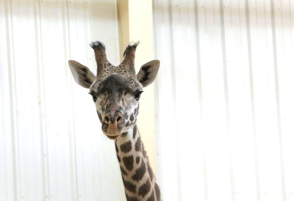 Giraffe Toledo Zoo Bahati