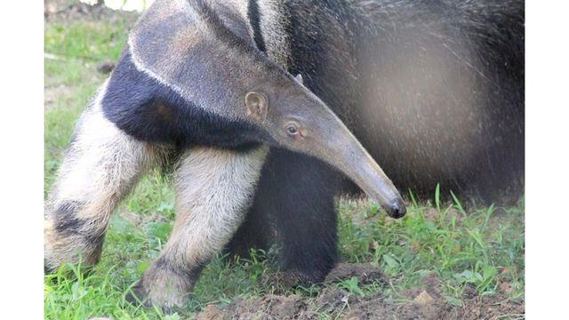 Anteeater Courtesy Mesker Park Zoo_1528886090564.jpeg.jpg