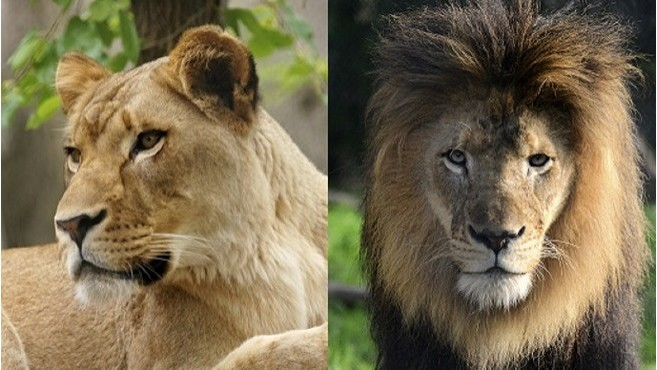 Female lion kills father of her cubs at Indianapolis Zoo