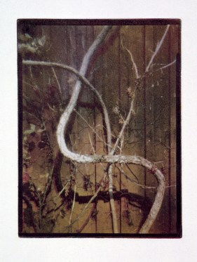 Vildvin, fotogravyr i fyrfärgstryck, 9x12 cm. ©Maria Wangi Ibohm, Maria Backström