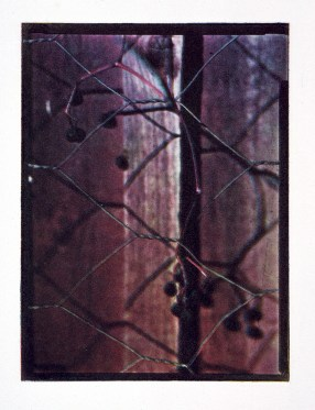 Vildvinsbär, fotogravyr i fyrfärgstryck, 9x12 cm. ©Maria Wangi Ibohm, Maria Backström