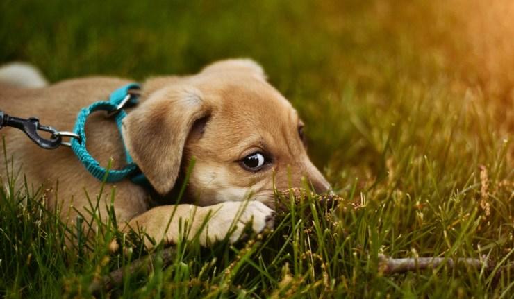 petit chiot dans l'herbe