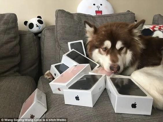 Jutawan Muda Dari China Beli 8 iPhone 7s Untuk Anjingnya