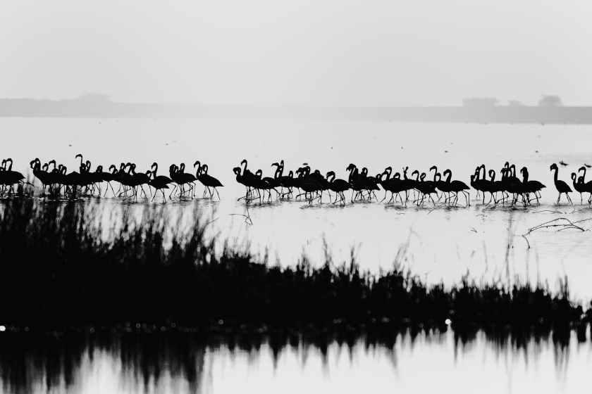 monochrome photography of flamingos