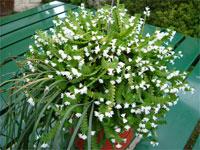 Angraecum distichum Lindley