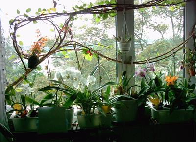 Coltivare le orchidee in casa for Orchidee in casa