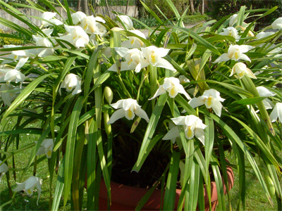 Cymbidium tempo di rinvaso - Orchidee da esterno ...