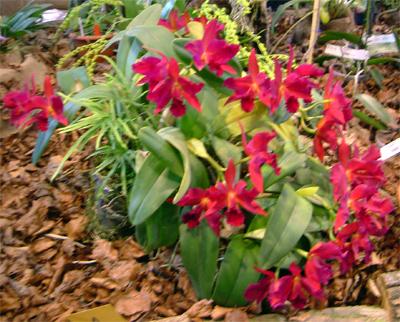 cura orchidee sfiorite