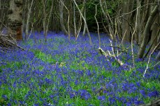 most bluebells