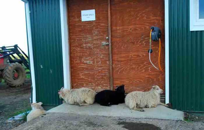 schapen voor de personeelsruimte Efstidalur