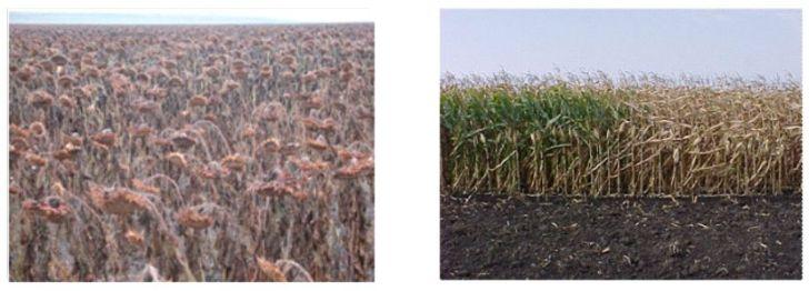 Het is duidelijk te zien, wat het effect is van het overspoelen van een bijna-oogstbaar gewas met RoundUp.. Het gewas sterft en de boer heeft minder werk. En degene die het voedsel eet, zeer waarschijnlijk sneller kanker..!!