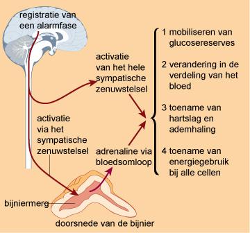 De bijnieren (onderaan, het kleine driehoekje) vervullen een poortwachtersfunctie in het lichaam.