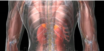 De plaats van de bijnieren in ons lichaam; bovenop de nieren zien we de gele uitsteeksels; dit zijn de bijnieren. Zie ook het andere plaatje.