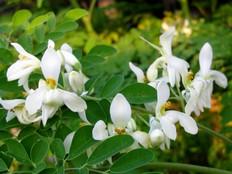 flower-moringa