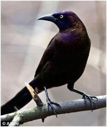 De 'Grackle', een ekster/kraai-achtige vogelsoort die veel in de VS voor komt.