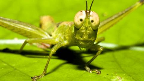grasshopper-eyes