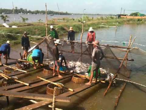 Een Pangkwekerij op een uitgegraven zijtak langs de Mekong rivier