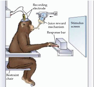 rhesus-monkey