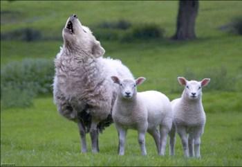 Ontdekken we de wolf in zijn schaapskleren, of zien we onszelf als schaapjes terug...?!