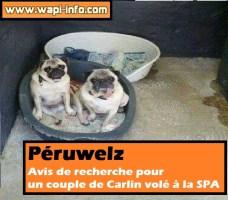 Péruwelz : avis de recherche pour un couple de Carlin volé à la SPA