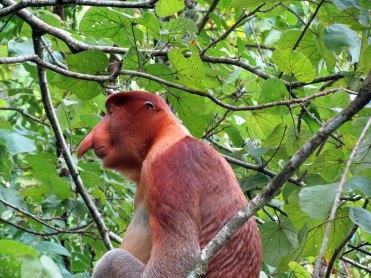 Malaysia, Bako National Park, Proboscis Monkey