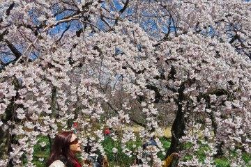 Cherry Blossoms Shinjuku Gyoen - Tokyo - Japan