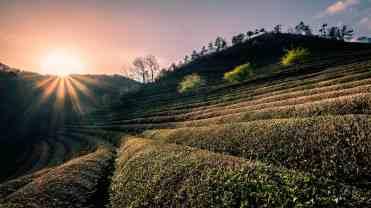 Boseong tea plantations, South Korea