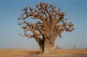 WAPPES  Senegal  Flora