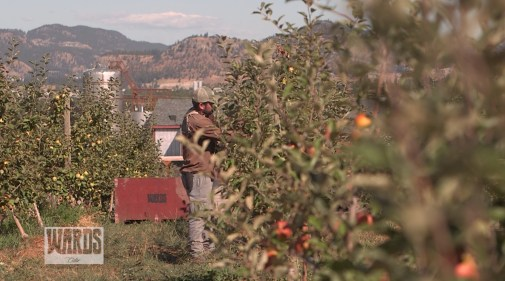 picking cider apples (002)