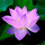 lotus-215460_1280