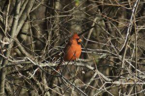 a cardinal bird