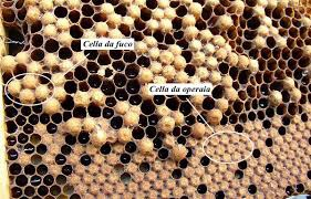 Celle di covata maschile e femminile di api