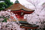 Pagoda with blossoming cherry trees