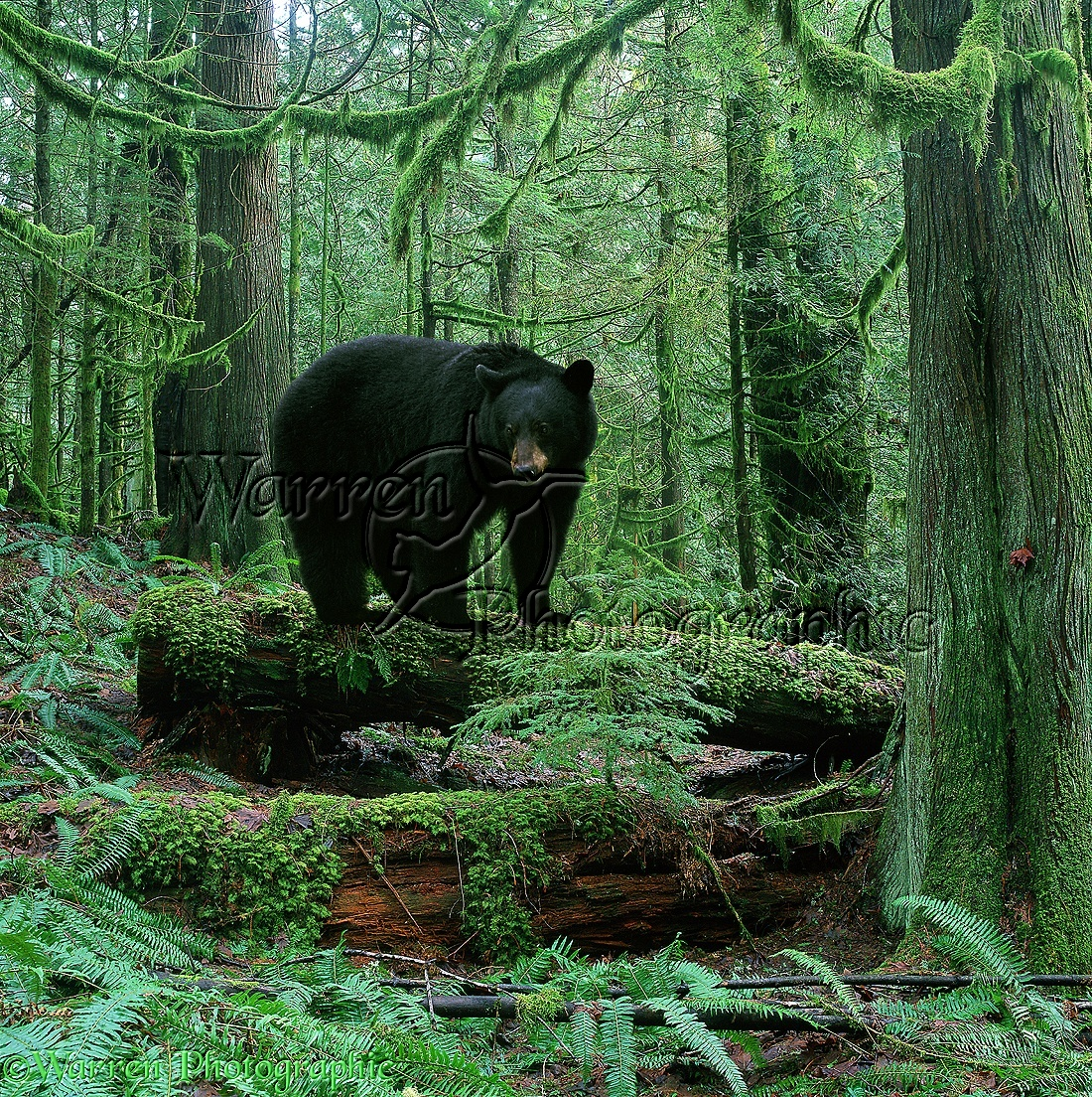 Black Bear In Forest Photo Wp