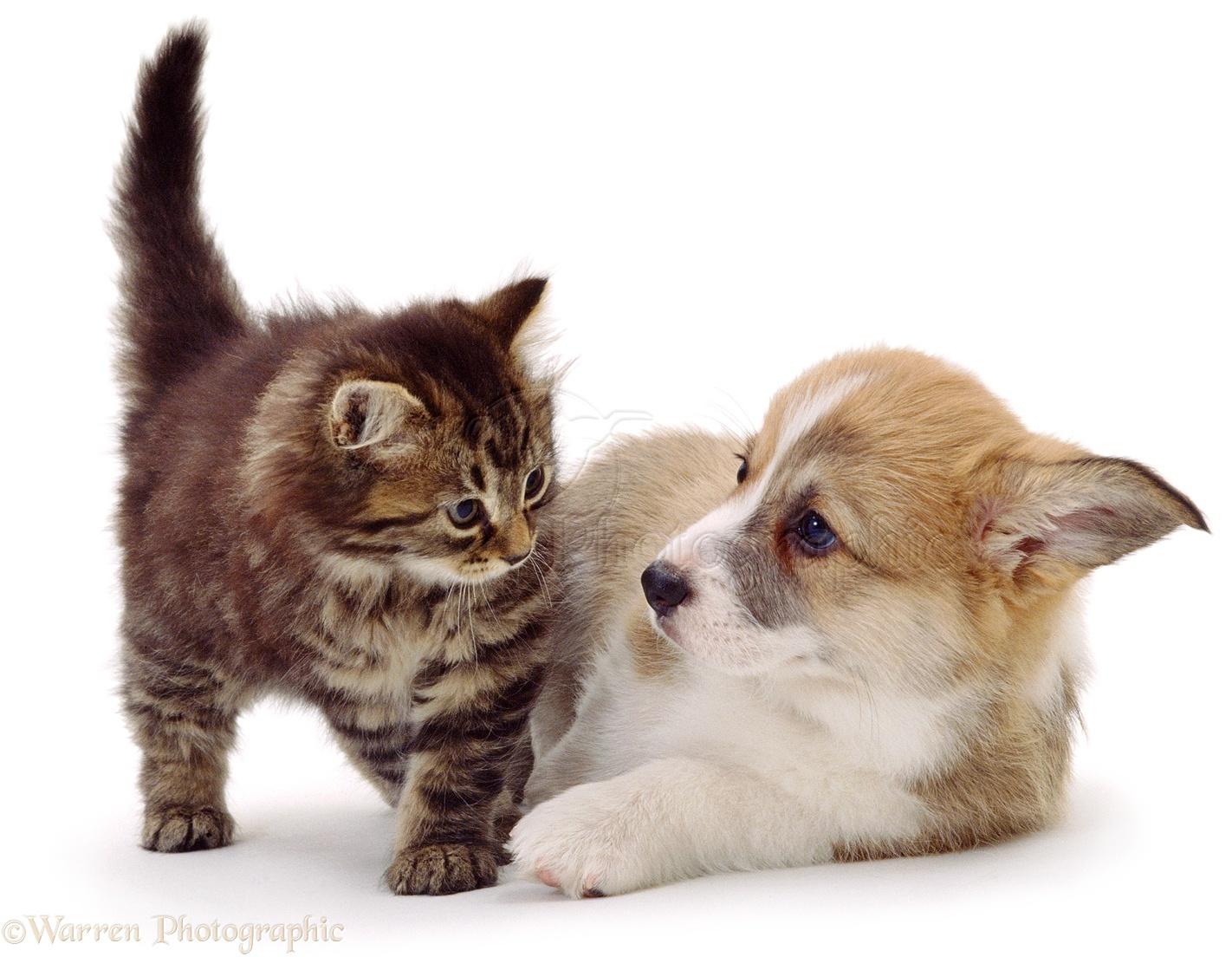 pets corgi puppy and