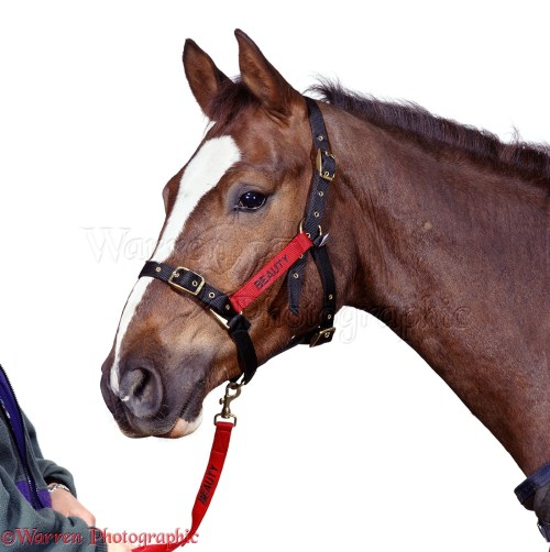 small resolution of chestnut pony beauty with harness white background