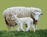 Mother sheep and lamb photo WP03586