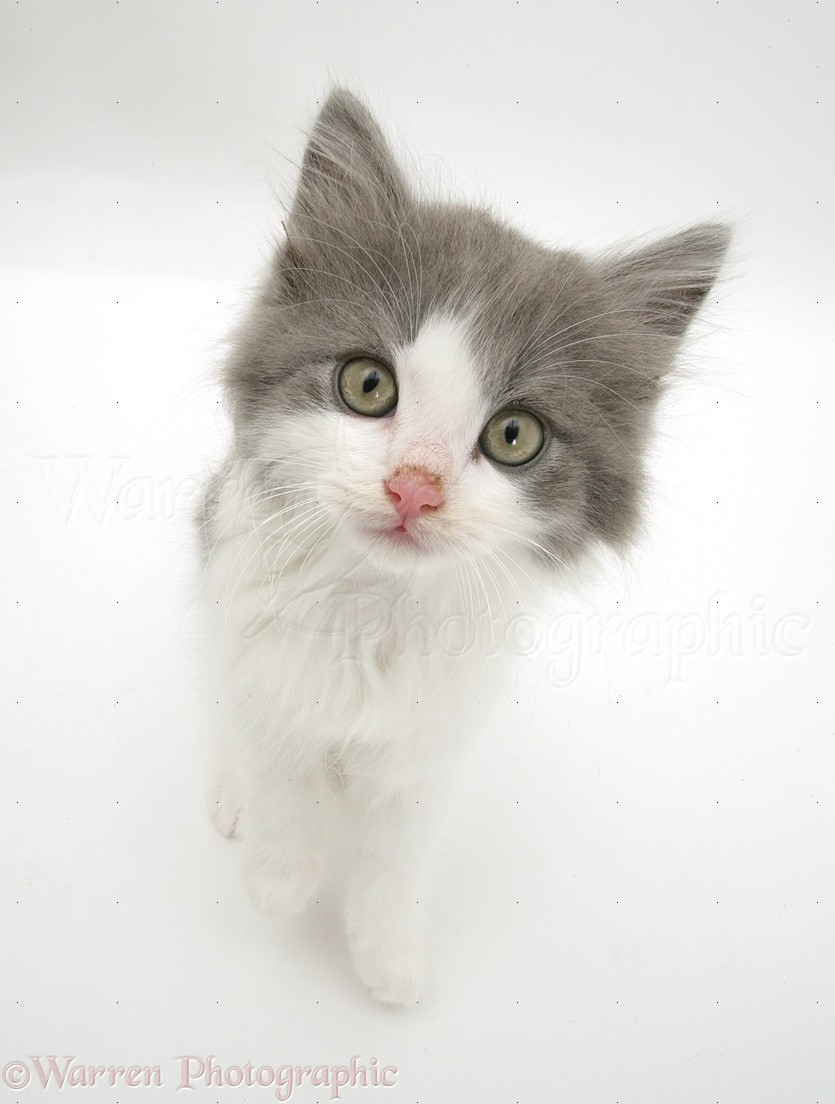 Greyandwhite kitten photo WP17691