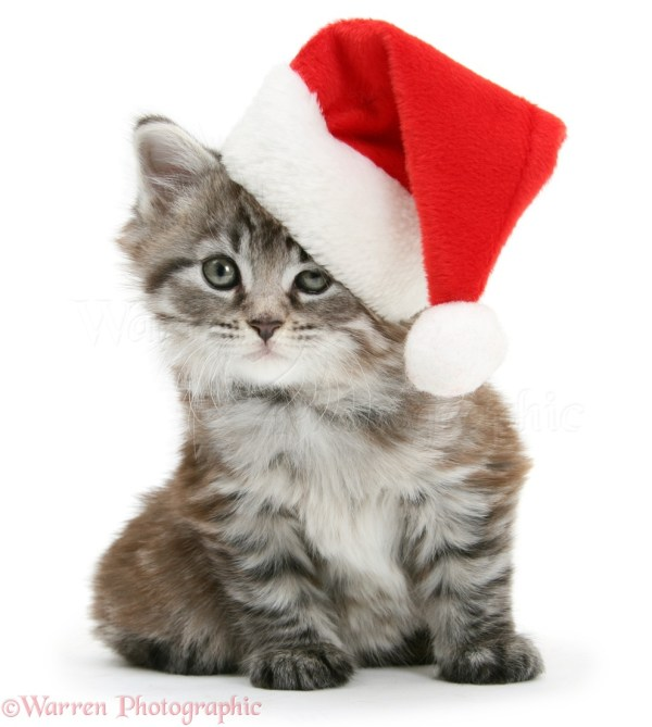 Maine Coons Cats with Christmas Hats