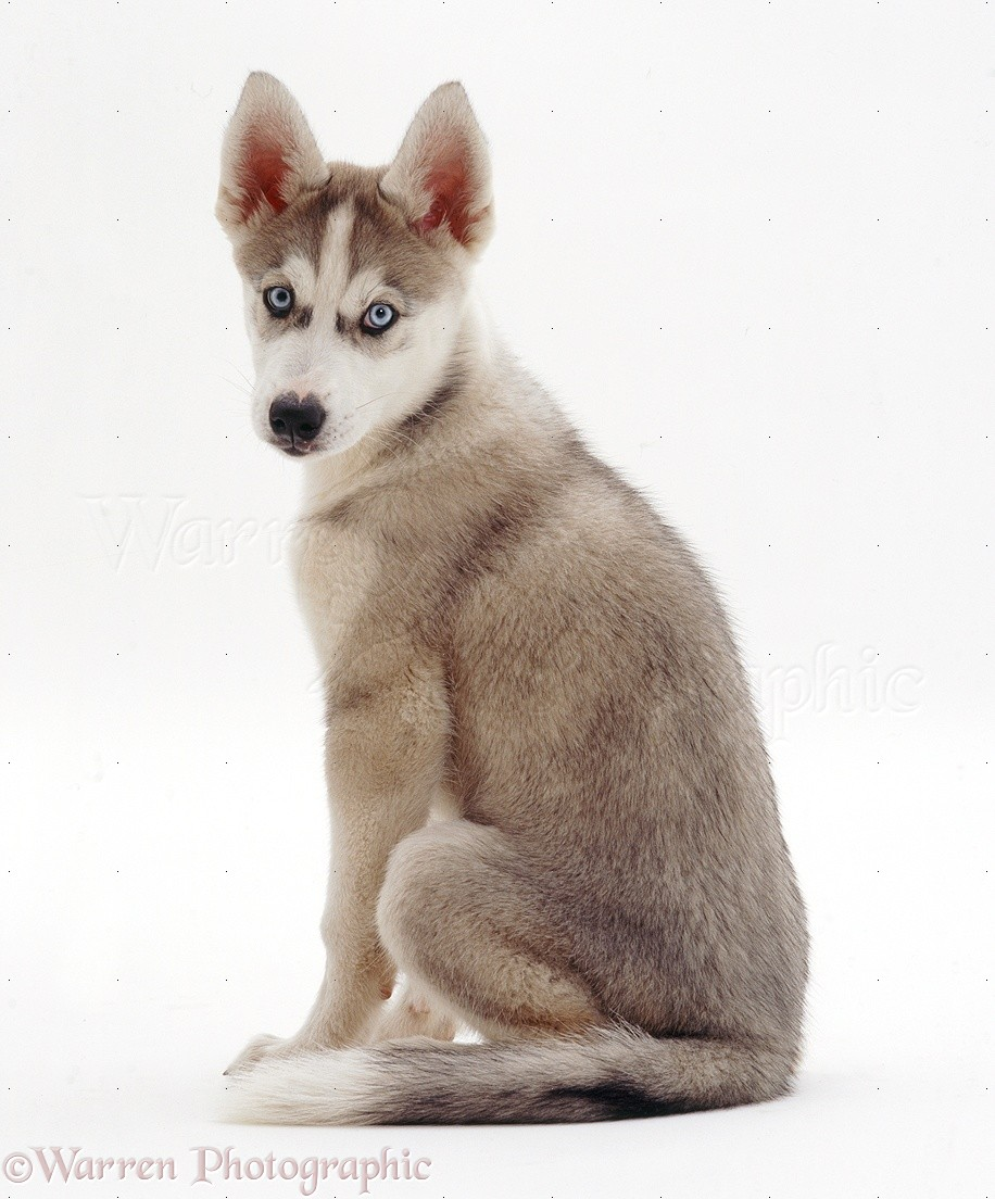 Dog Husky pup lying photo WP19086