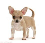 dog smooth-haired chihuahua pup