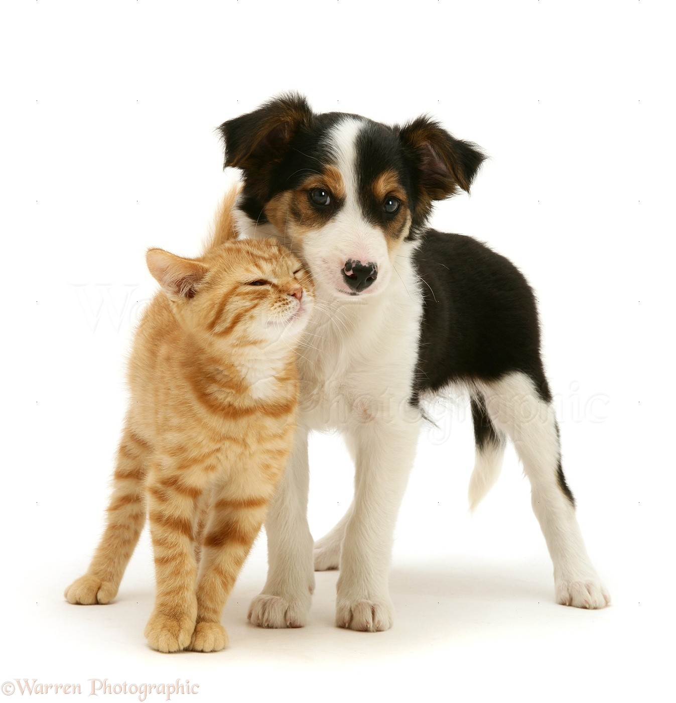 Collie White Together Border Mix Cat And And Black Black