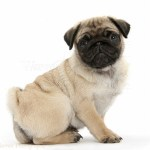Dog Fawn Pug Pup 8 Weeks Old Photo Wp34250