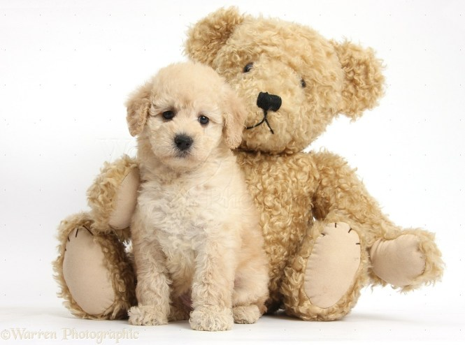 Dog Breed That Looks Like A Teddy Bear The Best Bear - 28 adorable dogs that actually look like tiny teddy bears